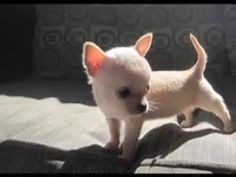 Teacup Chihuahuas for sale - YouTube
