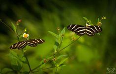 Zebra Longwings 032