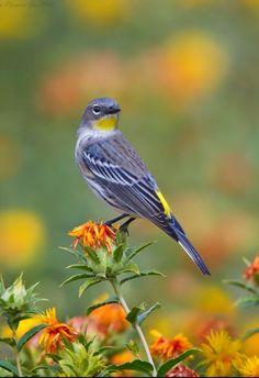 Western yellow-rumped warbler (Setophaga coronata auduboni). A North American songbird. photo: Ken Phenicie Jr.