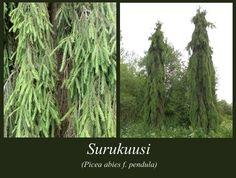 Surukuusi - puulajipuisto