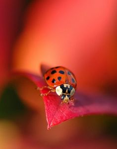 Ladybug  Coccinellidae (/ˌkɒksɪˈnɛlɪdaɪ/)[3] is a widespread family of small beetles ranging from 0.8 to 18 mm (0.0315 to 0.708 inches).[4] They are commonly yellow, orange, or red with small black spots on their wing covers, with black legs, heads and antennae. (Wikipedia)