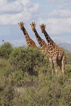 Kenya - Africa - Somali giraffes
