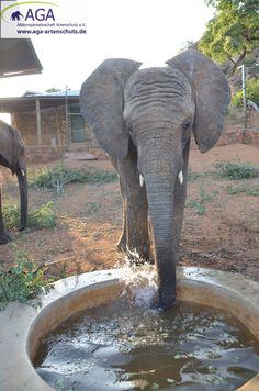 Munter planscht und blubbert Elefantenwaise Kithaka im Wasser. Nairobi, Elephant, Animals, Elephants, National Forest, Animales, Animaux, Animal, Animais
