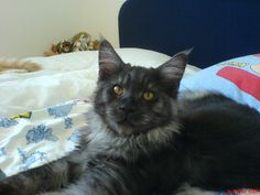 Zeus, mein Haxi Cats, Animals, Gatos, Animales, Animaux, Kitty, Cat, Cats And Kittens, Animal