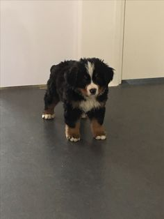 8 weken oude pup Dantos! Onze kleine sloper