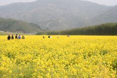 大洲花紀行 五郎菜の花まつり