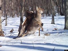 Golden Eagle attacking deer caught on trail cam trap in Russia - Golden eagles can have up to 7.5' wing spans. This is crazy!