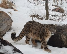 Irbis Snow Panther (Panthera uncia)