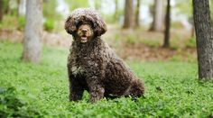 Best Hypoallergenic Dog Breeds: 20 Different Breeds That Don't Shed Perro Doberman Pinscher, Best Hypoallergenic Dogs, Polish Lowland Sheepdog, Friendly Dog Breeds, Most Expensive Dog, Bordeaux Dog, Best Guard Dogs, Short Dog, Akc Breeds