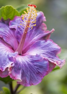 "~~Joe | glorious mini hybrid ""Joe Friedman"" Hibiscus | by Jade Moon~~"