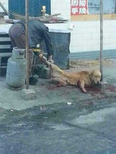CAN HE STILL BE CALLED HUMAN ?!!! Maomao (毛毛),a golden retriever stolen and mutilated à SHUANGYASHAN (双鸭山 in the HEILONGJIANG 黑龙江) Province 26 november 2014 morning : Maomao (毛毛), an adorable 3 year old golden retriever which had given birth 45 days previously, was stolen.