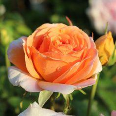 "Good Morning """"""""Beautiful Moment #holland #flowers #tullips #roses #garden #landscape#kids#spring#Beautiful#"
