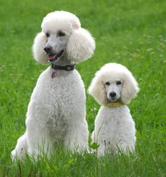 Standard Poodles. The biggest one looks like one of my sister's poodles. So cute!