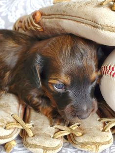 Pups Gone Wild has mini dachshund puppies for sale that have been raised for superb conformation, health, and social qualities. Brown Dachshund, Dachshund Puppies For Sale, Dapple Dachshund, Long Haired Dachshund, Dachshund Breeders, Memes Humor, Pets, Pet Dogs, Chihuahua Dogs