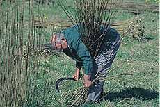Willow cutting - really interesting article