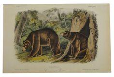 Audubon's Cinnamon Bear, 1849 on OneKingsLane.com