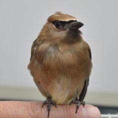 Waxwing - Cedar Birds, Animals, Animaux, Bird, Animal, Animales, Animais