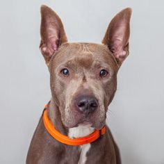 05/15/16 -Yara Dog • American Staffordshire Terrier & Boxer Mix • Adult • Female • Large Best Friends Pet Adoption & Spay Neuter Center Mission Hills, CA