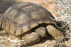tortoise care sheet -- my son really wants to adopt a rescued tortoise