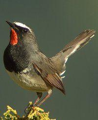 White-tailed Rubythroat.