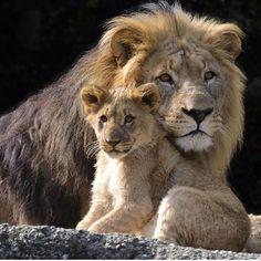 Lion Father 'couchant', with Infant Cub - Close-up Portrait Nature Animals, Animals And Pets, Beautiful Cats, Animals Beautiful, Lion Family, Lion Love, Lion Pictures, Animal Totems, African Animals