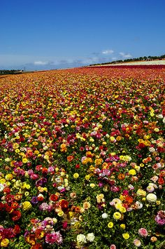 Fields of Colors, Fields of Flowers Carlsbad, California via flickr