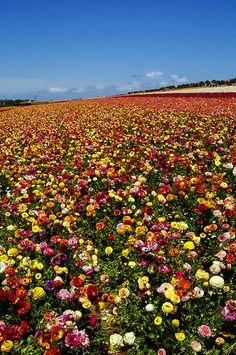 Fields of Colors, Fields of Flowers Carlsbad, California via flickr