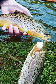 Catching trout is effortless the moment you have information how to put in a few. - Catching trout is effortless the moment you have information how to put in a few fundamental princi - Lake Trout Fishing, Trout Fishing Tips, Bass Fishing, Fish Bites, The Bait, Types Of Fish, Going Fishing, Famous Last Words, Make It Simple