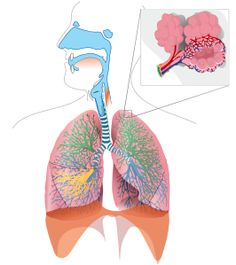 Respiratory system complete no labels.svg