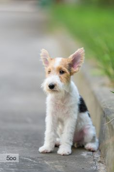 handsomedogs - Happy WireFoxTerrier puppy  zhao hui