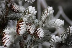 Snow dusted pine cones...