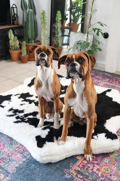 Cute Dogs And Puppies, Baby Dogs, I Love Dogs, Doggies, Bear Dog Breed, Baby Animals, Cute Animals, Boxer Dogs, Boxers