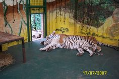 Tigers at Paradise Park, Broxbourne, Herts. Wildlife Park, The Beautiful Country, Narnia, Bengal, Paradise, Explore, History, Tigers, Animals