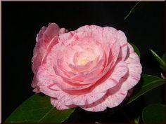 Camellia japonica 'William Bartlett' (Australia, 1958)