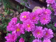 Love these flowers awesome chrysanthemums :-)