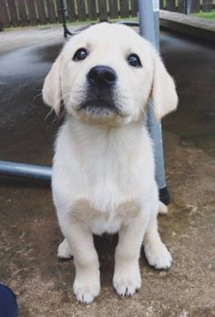 Mind Blowing Facts About Labrador Retrievers And Ideas. Amazing Facts About Labrador Retrievers And Ideas. Cute Puppies, Cute Dogs, Dogs And Puppies, Doggies, White Lab Puppies, Baby Animals, Cute Animals, Animals Images, Tier Fotos