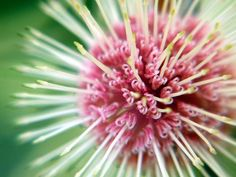 Untitled Protea by Jenny Ross at www.photo.net