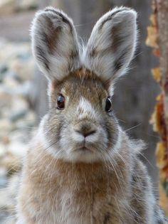 Bunny with winter coat Nature Animals, Animals And Pets, Baby Animals, Cute Animals, Beautiful Rabbit, Especie Animal, Cute Baby Bunnies, Barnyard Animals, Tier Fotos