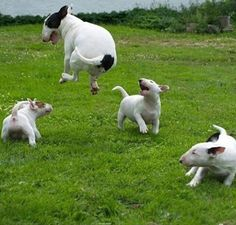 get BULL Terrier free stickers Chien Bull Terrier, Bull Terrier Funny, Mini Bull Terriers, Miniature Bull Terrier, English Bull Terriers, Beautiful Dogs, Animals Beautiful, Cute Animals, Pet Dogs