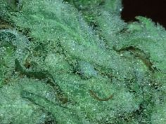 Sunset Sherbet is one of the most flavorful and unique tasting medical marijuana strains on the market today. It is a hybrid descendant of Girl Scout Cookies, which is a sativa-dominant hybrid, and little is known about what else it contains. Awesome