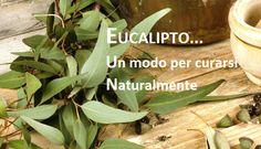 http://jedasupport.altervista.org/blog/curiosita/eucalipto-pianta-medica-che-aiuta-la-salute/ Eucalipto