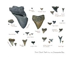 """Fossil Shark Teeth of the Chesapeake Bay, Maryland Calvert Cliffs and surrounding areas 11x14"""" Watercolor Illustration Print (illustrated life size) A 'field guide' watercolor illustration identifying a variety of fossilized shark teeth. I love beach combing for fossils and most of these were found by myself. OMG the boys need this in their room."""