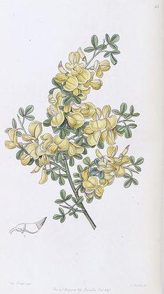 Spiny Broom. Calicotome spinosa. Native to Western Mediterranean region. Edwards's Botanical Register vol. 32 (1846) [Sarah Ann Drake]