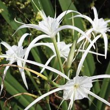 New Lion Spider Lily for sale buy Hymenocallis 'New Lion'