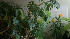 Kesäisin TEKin toimiston valtaa viidakko! Tai ainakin kahvihuoneen, kun yksin jätetyt viherkasvit kokoontuvat kesähoitoon. Saatat törmätä villieläimiin, kuten leopardiin, mölyapinaan, tai kesäteekkariin. www.teekkarintyokirja.fi/fi/wanted-teekkarin-tyokirjalle-paatoimittaja #kesä #ttkirja #toimisto #rekry #duunit My Job, Plants, House, Plant, Planets