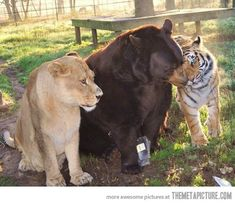 i saw an episode about these three unlikely friends on Animal Planet.  Such a sweet story.