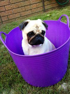 Pug-in-a-tub @Kendra Kyburz