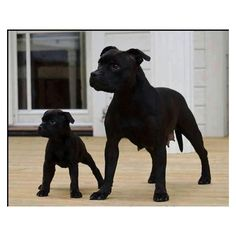 Pictures Of Black Pitbull Puppies All Black Pitbull, Black Pitbull Puppies, Dogs And Puppies, Doggies, Pitbull Pups, I Love Dogs, Cute Dogs, Animals Beautiful, Cute Animals