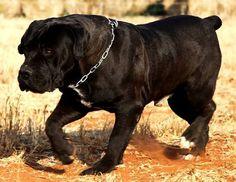 Amazing Dogs, Beautiful Dogs, Belgian Malinois Dog, Huge Dogs, Mastiff Dogs, Guard Dog, Real Dog, Military Dogs, Aggressive Dog