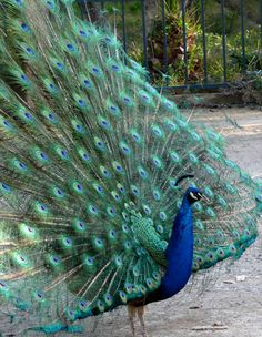 """I raised peacocks. They used to sit on top of the barn and call when anyone came down the road. Good watch """"dogs."""""""